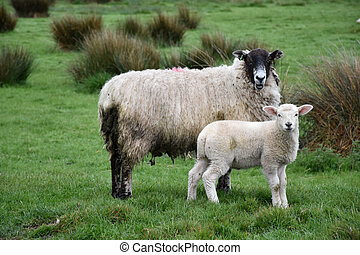 Spring with a cute sheep family on a farm.