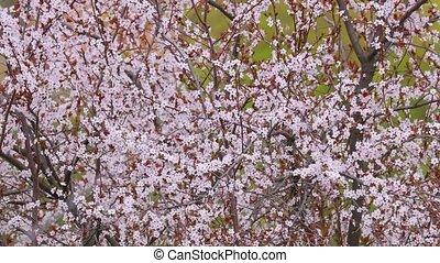 Spring Tree Blooming