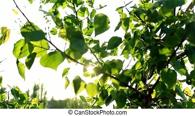 Spring Tree Branch With Green Leaves On The Sun. April Blurred Background. The blinking day sun