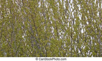 Spring Tree Branches