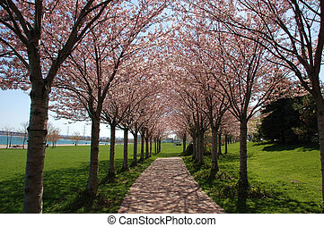 Row of trees with blossoms in the spring and path in park with lake background