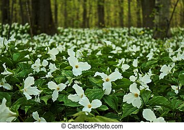 Gorgeous spring trillium carpet the forest floor, announcing the arrival of spring. These flower are native to the northern woodlands, and thrive in the rich moist soil of the Great Lakes Coastal forests. Lakeport State Park. Lakeport, Michigan.