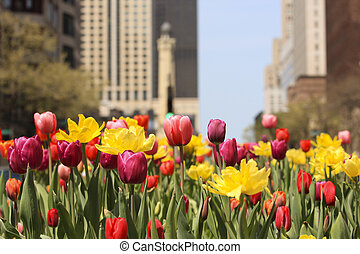 Spring tulips in Chicago, on Michigan Avenue.