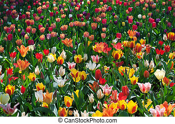 Spring tulips in field