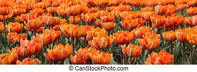 Spring tulips in full bloom at the Tulip Festival in Ottawa,...