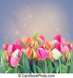 spring tulips in garden on violet toned background