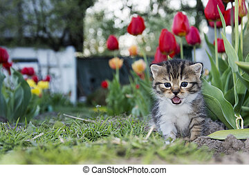 Spring tulips in the garden near the small kitten crying.