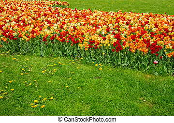 spring tulips lawn close up in  Saski park in Warsaw, Poland