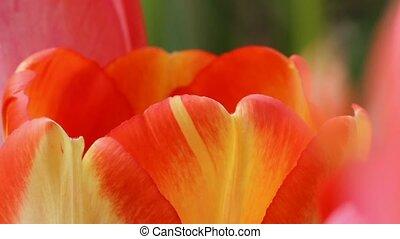 Spring Tulips - Spring tulips in garden