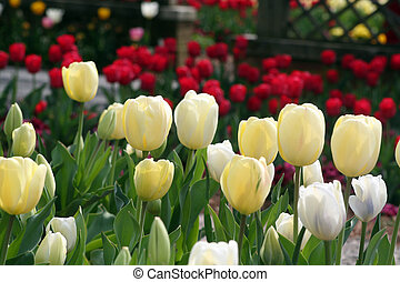 spring tulips - colorful spring tulips
