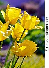Spring Tulips - Tulip (Genus Tulipa) - Perennial, Bulbous ...