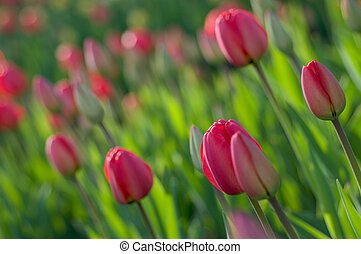 Spring tulips. - Tulips. Spring flowers. Blossom