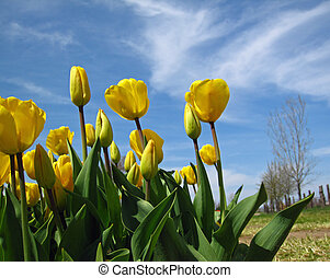 Spring tulips with blue sky