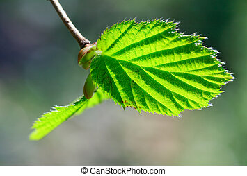 Spring twig of hornbeam with green leaf (close-up) on forest...