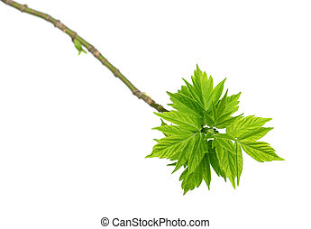 Spring twigs of maple ash with young green leaves