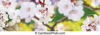 spring., včela, collects, nektar, (pollen), od, ta, běloba květovat, o, jeden, přivést do květu višně, dále, jeden, rozmazat grafické pozadí, o, druh, jeden, prapor, jako, ta, poloha., panorama., rozmazaný, proložit, jako, text., skinali.