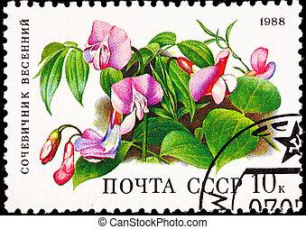 Spring Vetchling, Lathyrus vernus. Also called  Spring Pea, or Spring Vetch.  Formerly  Orobus vernus.