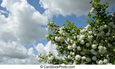 spring viburnum  blossoms on sky