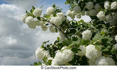 spring viburnum white blossoms in farm garden and wind