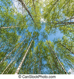 Spring view of the birch trees.