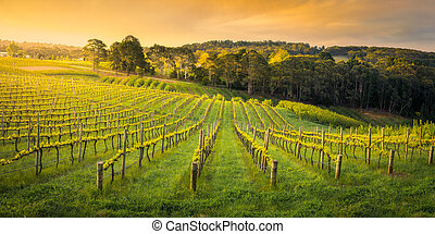 Spring Vines - Vineyard in the Adelaide Hills, South ...