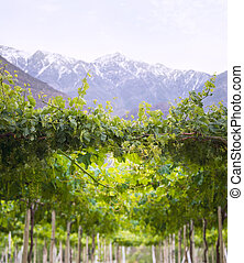 Spring Vineyard when Grapevine flower are transforming into a grape berry. Elqui Valley, Andes part of Atacama Desert in the Coquimbo region, Chile