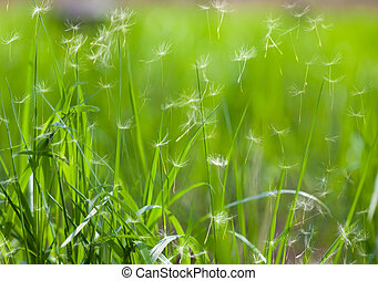 grass with flying dandelion seeds