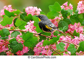 Spring Warbler - Yellow-rumped Warbler with Pink blossoms of...