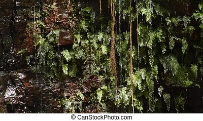 Spring water and fern - Spring water falling among small...