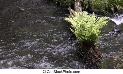 Spring water and fern - Ikeyama-suigen spring water flowing...