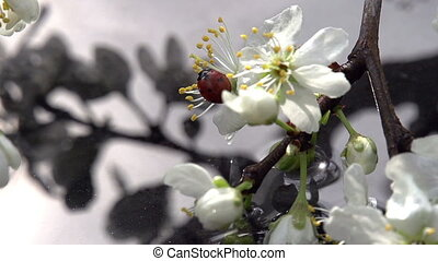 Spring Water - Blossoming cherry branch bent to the water....