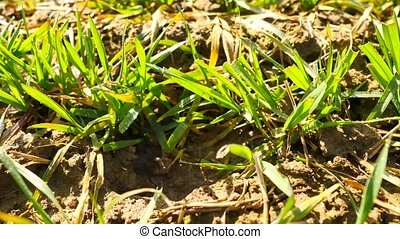 Spring wheat field, small young plants moving in the wind. Moved wheat leaves by irregular breeze, beginning of spring in agriculture. Camera moving close up to  ground.