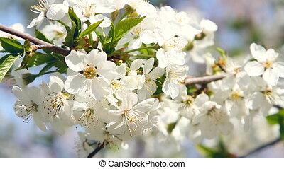 spring white blossom against blue s