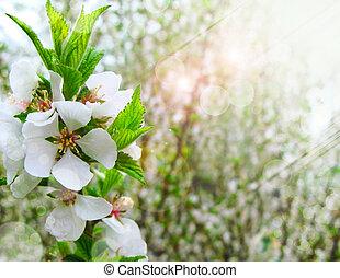 spring white blossom cherry tree flowers
