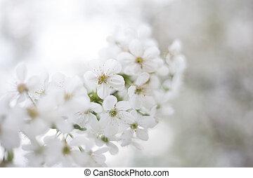 spring white cherry blossom background