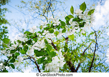 Spring white flowering branch of apple tree on background of blue sky.