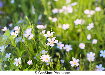 Spring white flowers blossom in the meadow