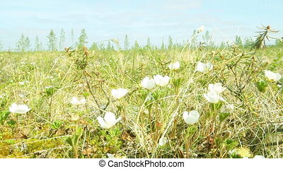 Spring. White flowers cloudberry - lossoms white cloudberry...