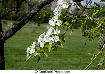 Spring white flowers of an apple-tree in a park close-up.
