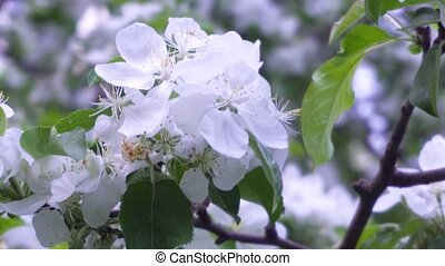 Spring white flowers on a branch of apples in the afternoon