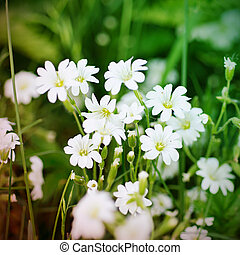 Spring white flowers - White flowers blossoming in spring...