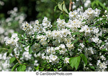 Spring white flowers - Philadelphus - Mock Oranges, jasmine...