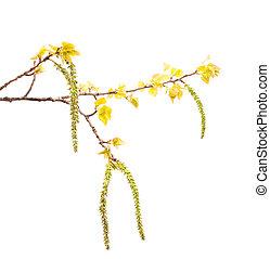 Spring white poplar branch isolated on white