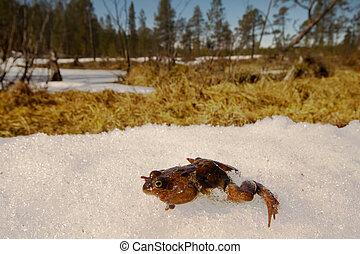 spring., wiederbelebung, frosch