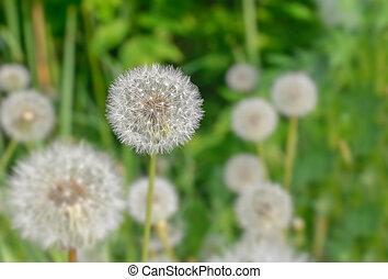 Spring wild flowers - dandelions