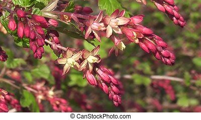 Spring Wildflower Currant Blossom - Vibrant Wildflower...