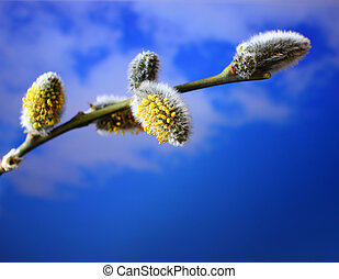 Spring willow, branch with buds on a celestial