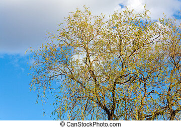 Spring willow tree on sky background