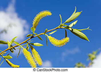 Spring willow twig on blue sky background