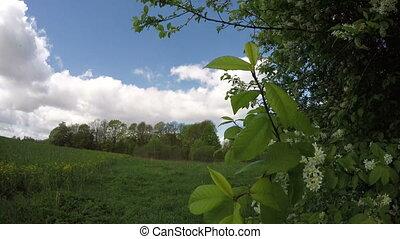 spring wind and bird cherry branch
